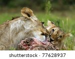 lion cubs eating prey | Shutterstock . vector #77628937