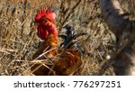 A Rooster In The High Grass...