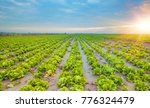 lettuce field at dramatic sunset | Shutterstock . vector #776324479