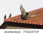 Small photo of homing pigeon bird flying fand perching on home roof tile