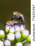 Small photo of scary Blow,fly,flies engraft be fertile on flower