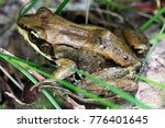 a brown wood frog sitting in... | Shutterstock . vector #776401645