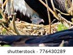 magnificent frigatebird ... | Shutterstock . vector #776430289