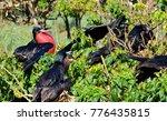 male magnificent frigatebirds ... | Shutterstock . vector #776435815