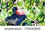 male magnificent frigatebirds ... | Shutterstock . vector #776435845