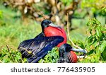 male magnificent frigatebirds ... | Shutterstock . vector #776435905