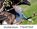 female magnificent frigatebird  ... | Shutterstock . vector #776437369