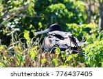 female magnificent frigatebird  ... | Shutterstock . vector #776437405