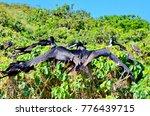 magnificent frigatebird ... | Shutterstock . vector #776439715
