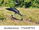 magnificent frigatebird ... | Shutterstock . vector #776439751
