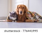 Stock photo golden retriever and british cat 776441995