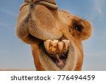 Camel In Israel Desert  Funny...