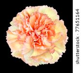 Pink Yellow Carnation Flower Isolated on Black Background. Closeup on Clove-Pink Flower - stock photo
