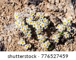 Small photo of Rock Jasmine (Androsace lehmanniana?) at Chowiet Island, Semidi Islands, Alaska, USA