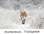 red fox in the snow. | Shutterstock . vector #776536909