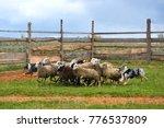 border collie with australian... | Shutterstock . vector #776537809