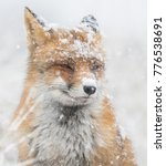 red fox in the snow portrait | Shutterstock . vector #776538691