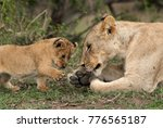lioness cub trying to touch her ... | Shutterstock . vector #776565187