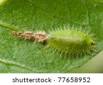 Insect Tortoise Beetle Larva On ...