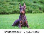 obedient brown doberman dog... | Shutterstock . vector #776607559