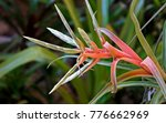 Small photo of Giant airplant flower, Tillandsia fasciculata