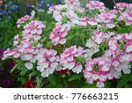 Small photo of The Verbena flowers are blooming in bicolor pink and white.
