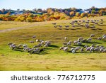 the flock of sheep or goats on... | Shutterstock . vector #776712775