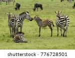 common zebras  with foals  and... | Shutterstock . vector #776728501