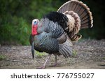Wild Male Turkey Strutting...