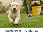 Golden Retriever Puppy Run Fro...
