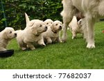 Puppies Flocking After Their...
