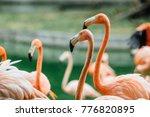 flock of beautiful pink... | Shutterstock . vector #776820895