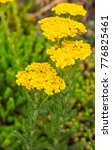 Small photo of A Japanese yellow beetle (Popillia japonica) climbs on the inflorescence of a common yarrow (Achillea millefolium) blooming in Joliet, Illinois during June.