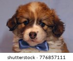 Stock photo cute puppy corgi pembroke on a gray background lovely fluffy puppy welsh corgi pembroke with blue 776857111
