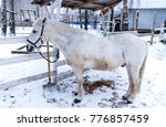 A Small Pony Horse Stands In A...