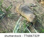 ground squirrel or gopher on... | Shutterstock . vector #776867329