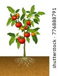 tomato plant with root under... | Shutterstock .eps vector #776888791