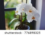 orchids blooming on window of... | Shutterstock . vector #776898325