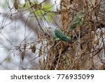 Small photo of Grey-headed Lovebird (Agapornis canus) - Madagascar