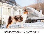 Small photo of Australian Shepherd dog red merle