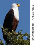 Small photo of African Fish Eagle near the Chobe River in Botswana.