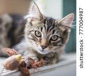 Stock photo tabby kitten with toy bird 777004987