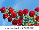 Stock photo red roses on sunny sky background 77703238