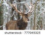 deer. single adult noble deer... | Shutterstock . vector #777045325