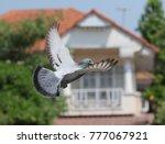 homing pigeon bird flying in... | Shutterstock . vector #777067921