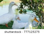 many of white pekin duck in the ... | Shutterstock . vector #777125275
