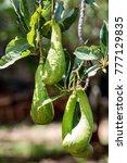 Small photo of Avocado Persea americana brazil
