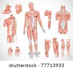 muscle system | Shutterstock . vector #77713933