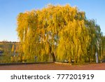 old willow tree on the max eyth ... | Shutterstock . vector #777201919