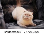 the british shorthair cats sit... | Shutterstock . vector #777218221